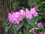 Rhododendron Blossoms